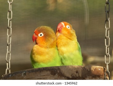 Love birds - parakeets on a branch