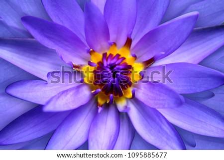 Love Colors Lotus Flower Stock Photo Edit Now 1095885677