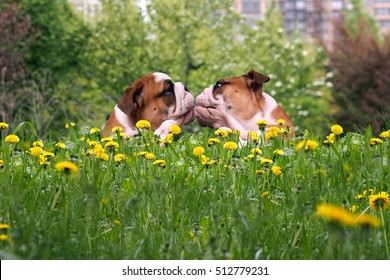 Love dogs. Kiss Bulldogs in the high green grass among dandelions