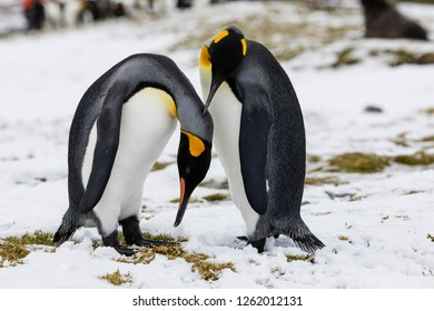 An in love King Penguin couple exchanges tenderness on Fortuna Bay, South Georgia, Antarctica