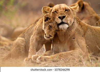 Predator´s love. Lioness and cub in the Kruger NP, South Africa - Shutterstock ID 1078246298