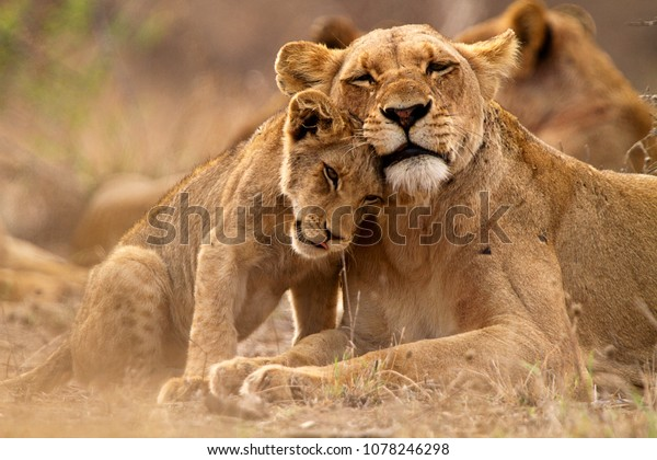 Predator´s love. Lioness and cub in the Kruger NP, South Africa