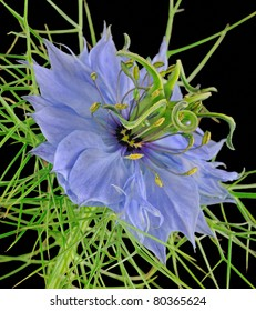 """Love In The Mist"" (Nigella) - Ranunculus"