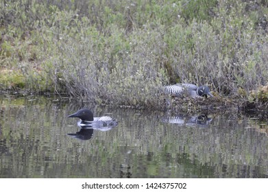 The Love of Nesting Loons