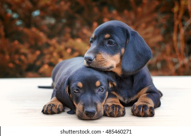 Love. Puppies together. Dog best friend. Friendship between two dogs. Dachshund puppies. Shallow depth of field.