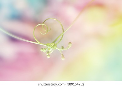 Love and relationships concept, close up of Tendril and flower bud in shape of heart (Cardiospermum Halicacabum )