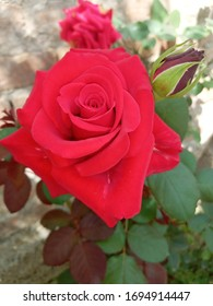 Love rose with bud wallapaper
