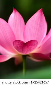 love shape pink lotus petal