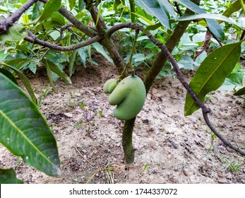 Love Shape Twins Raw and Green Mangoes in Nepal - Mango with Heart shape in the tree