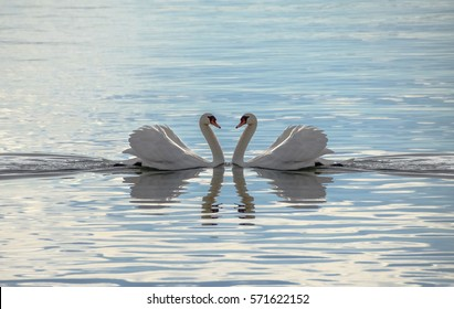 Love Swans - Swans Making A Heart