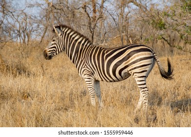 Love those sassy tail flips of the S. African zebras.