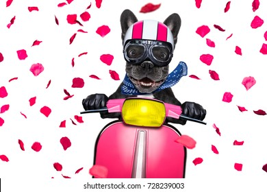 In love for valentines   french bulldog motorbike dog with helmet and goggles ,riding and driving a motorcycle , isolated on white background