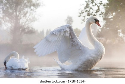 love white swans in the water