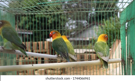 lovebird colony in a cage, agaponist bird