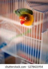 Lovebird dangle in his cage