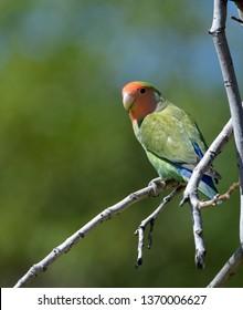 Lovebird looking over his shoulder