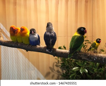 A lovebird might be one of the smaller parrot species available as a companion pet, full personality of parrots while being easy to house because of their size.