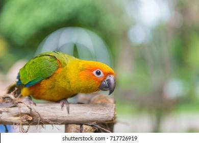 Lovebird or Parrot standing on tree in park, Agapornis fischeri. (Fischer's Lovebird)