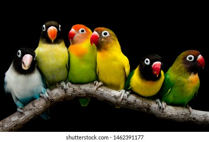 Lovebird Parrot There are beautiful colors and very loving family this photo was taken in the studio