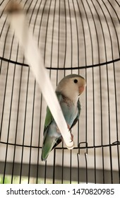 Lovebird parrots sitting in a cage. This birds lives in the forest and is domesticated to domestic animals