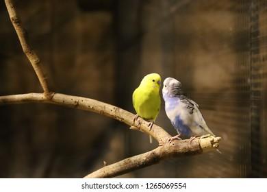Lovebird parrots sitting together ,Lovebird Kiss