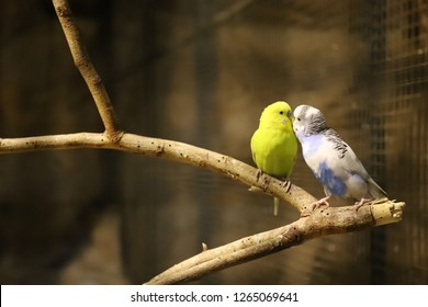 Lovebird parrots sitting together ,Lovebird Kiss