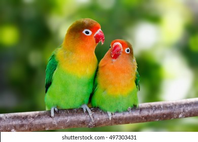 Lovebird parrots sitting together on a tree branch