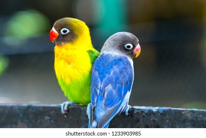 Lovebird parrots sitting together. This birds lives in the forest and is domesticated to domestic animals