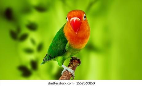Lovebirds High Res Stock Images Shutterstock