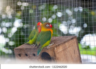 Lovebird,Lilian's lovebird (Agapornis lilianae), also known as Nyasa lovebird, is a small African parrot species of the lovebird genus