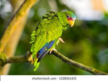 Lovebirds, Agapornis spec., parrot