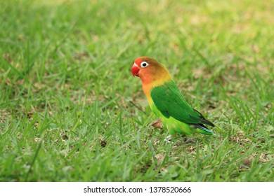 An lovebirds agapornis-fischeri green nature background ,Photo taken in Hong Kong on 22 Apr 2019