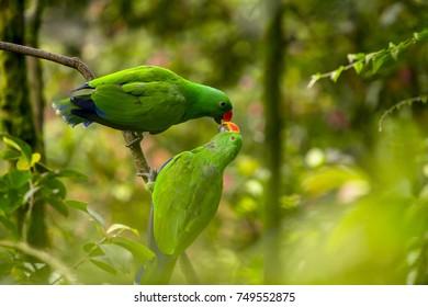 Lovebirds Kissing Parrots Pair