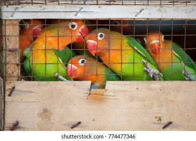 Lovebirds at a local bird market ready for shipment to pet stores. The Fischer's Lovebird (Agapornis fischeri) is a small parrot species of the Lovebird genus. Fischer's Lovebird are native to a small