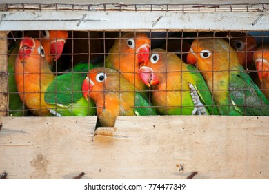 Lovebirds at a local bird market ready for shipment to pet stores. The Fischer's Lovebird (Agapornis fischeri) is a small parrot species of the Lovebird genus.