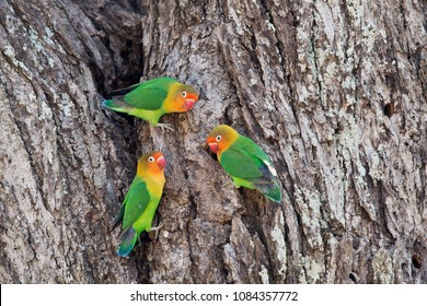 Fisher´s Lovebirds in Ndutu NCA, Tanzania