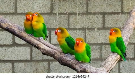 lovebirds together on a branch with one close couple, tropical and colorful small parrots from africa