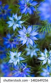 love-in-the-mist flower, roman coriander flower, wild blue fennel flower, Nigella sativa, black cumin, buttercup family, pretty blue flowers, lacy frond leaves, periwinkle petals