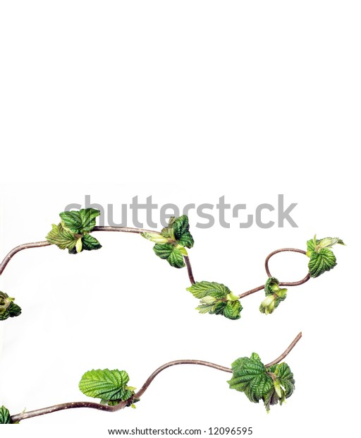 lovely abstract image of gnarled branches with young leaves against white background