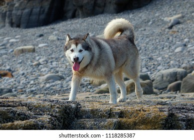 A lovely Alaskan Malamute dog standing on rocks at the beach.