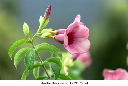 Lovely Allamanda cathartica flower in garden.