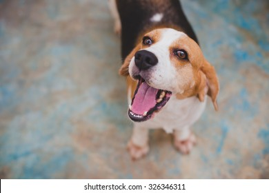 Lovely beagle opening mouth on blur background.