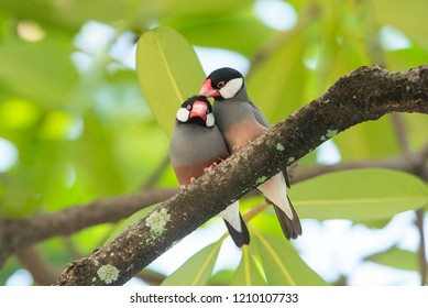 lovely bird, Pair of Java Sparrow