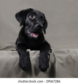 Lovely black labrador retriever puppy over gray background
