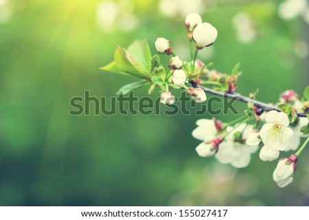 lovely blooming twig of cherry tree