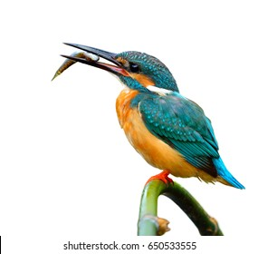 Lovely blue bird, Common Kingfisher (Alcedo atthis)  perching on bamboo stick with little fish in his mouth isolated on white background