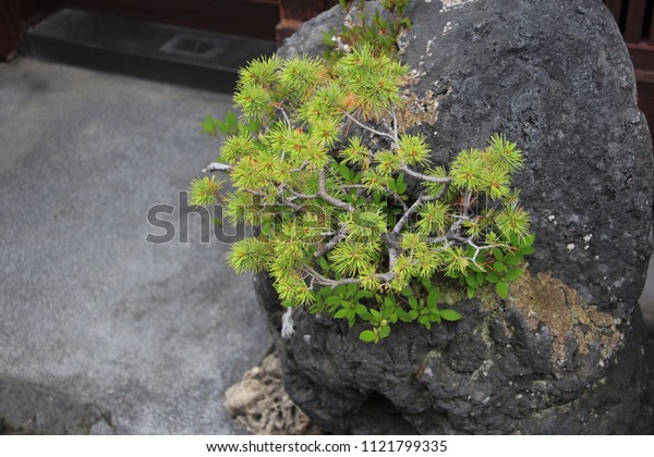 the lovely bonsai tree on the stone