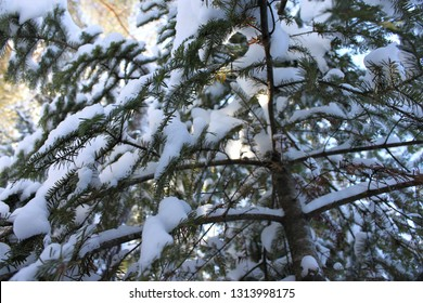 Lovely boughs of Balsam Fir (Abies balsamea) covered in snow, taken in February 2019.