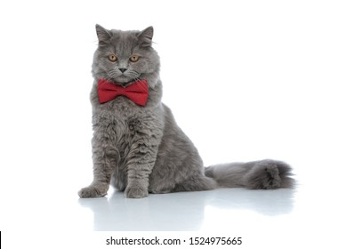 lovely british longhair cat with red bow tie sitting and looking down with ruthless eyes against white studio background