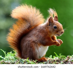A lovely brown squirrel with a background